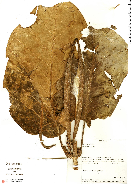 Specimen: Macropharynx spectabilis