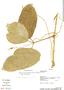 Psiguria ternata (Roem.) C. Jeffrey, Bolivia, A. H. Gentry 73937, F