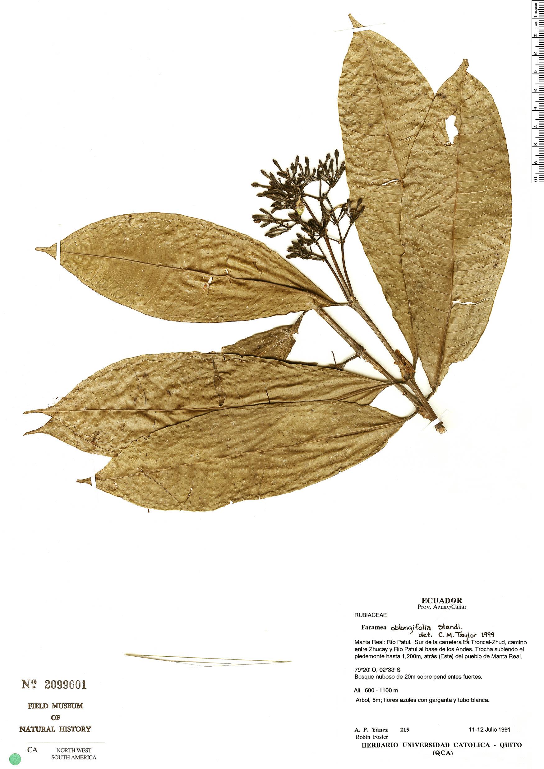 Specimen: Faramea oblongifolia