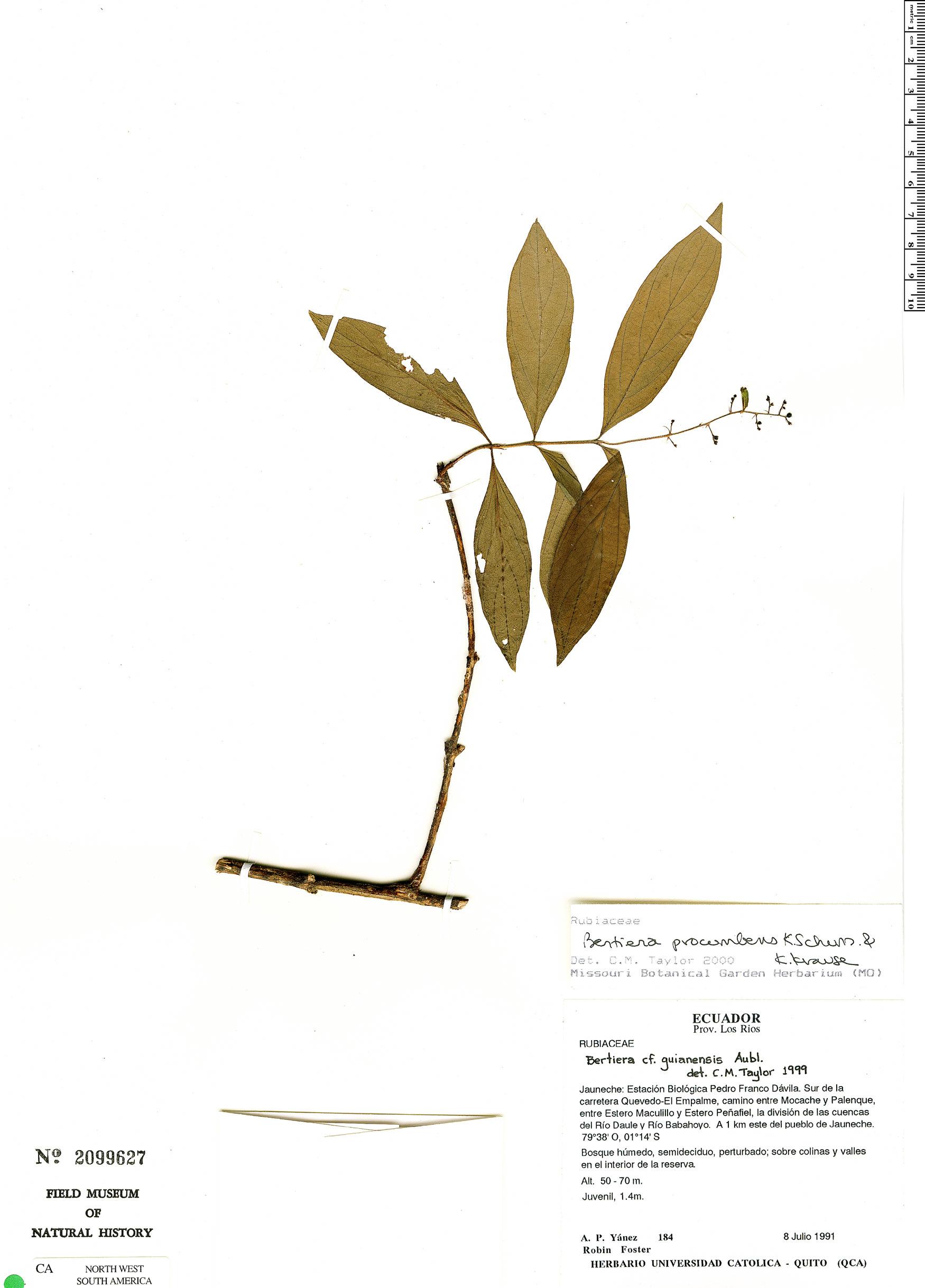 Specimen: Bertiera procumbens