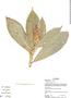 Costus pulverulentus C. Presl, Ecuador, A. Yánez 263, F