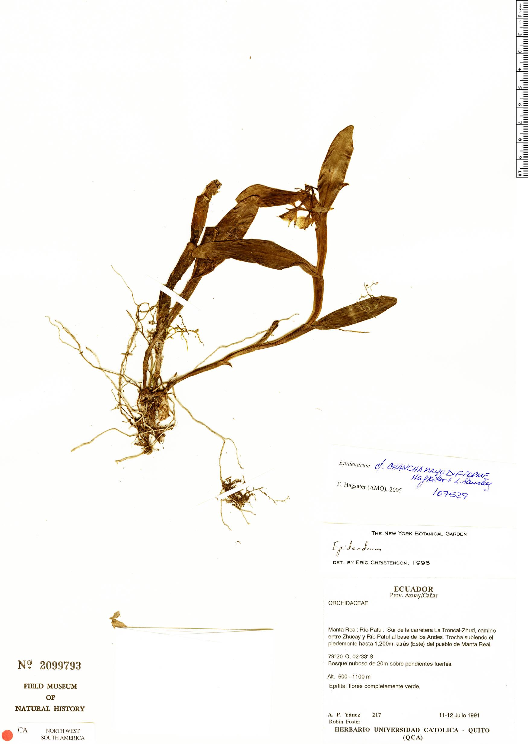 Specimen: Epidendrum chanchamayodifforme