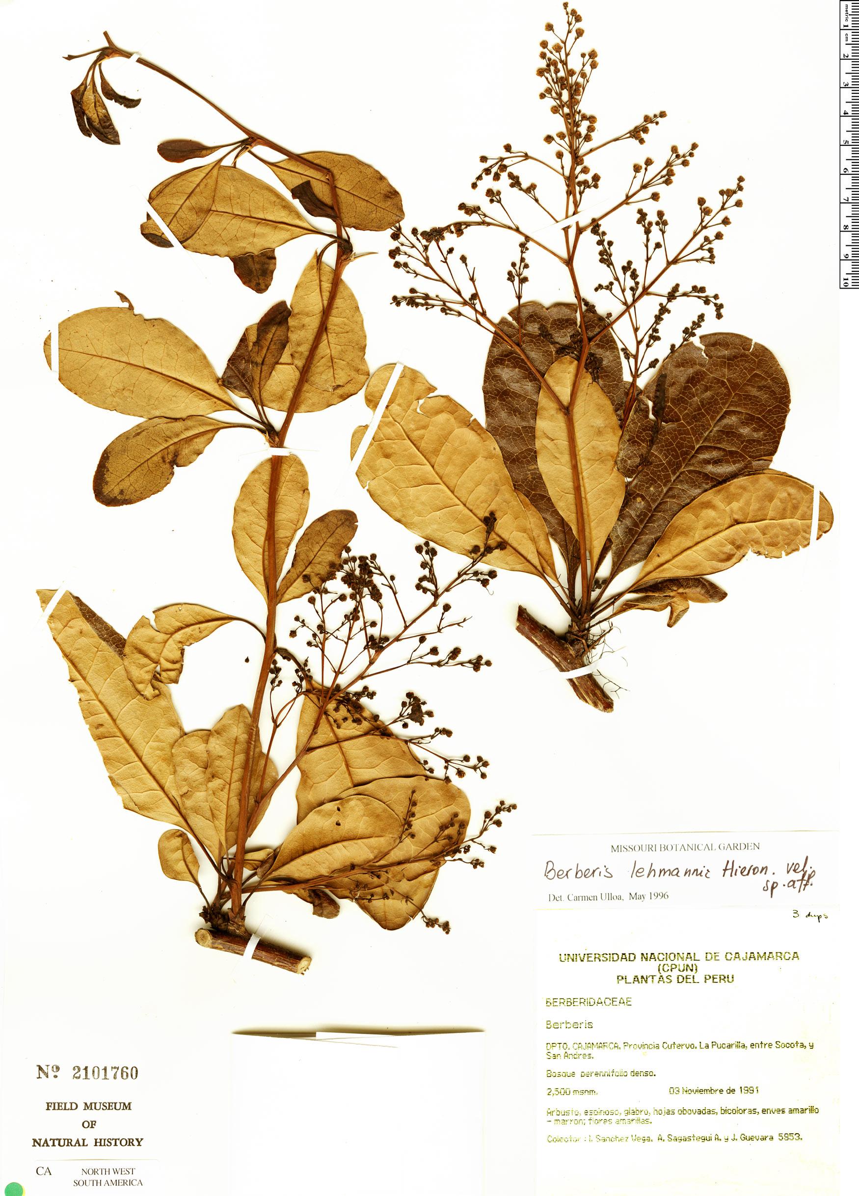 Specimen: Berberis hochreutineriana
