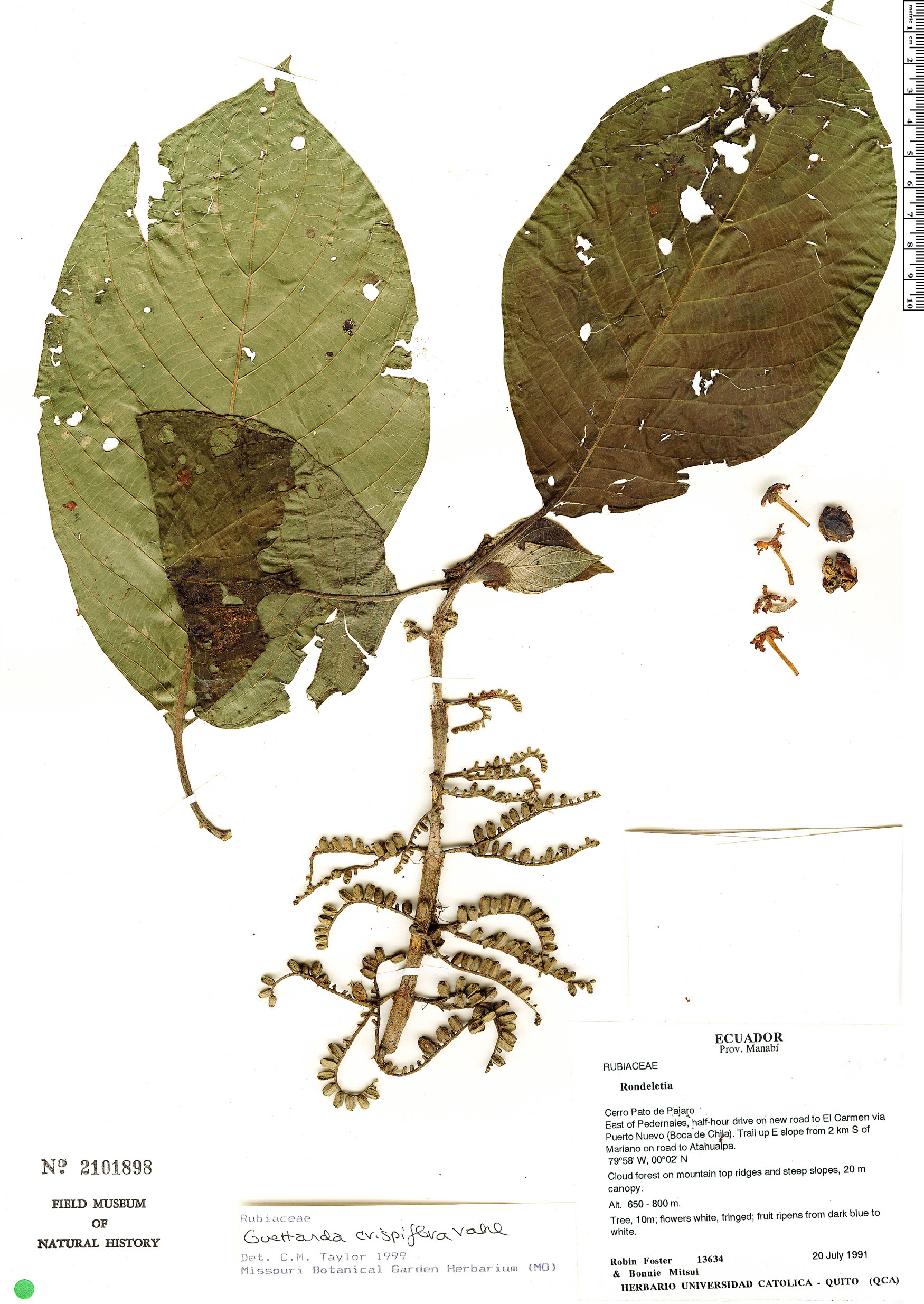 Espécimen: Guettarda crispiflora