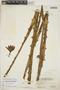Furcraea tuberosa (Mill.) W. T. Aiton, BAHAMAS, P. Wilson 7675, F