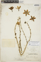 Furcraea hexapetala (Jacq.) Urb., JAMAICA, A. E. Wight 125, F