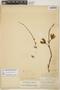 Furcraea hexapetala (Jacq.) Urb., BAHAMAS, J. I. Northrop 65, F