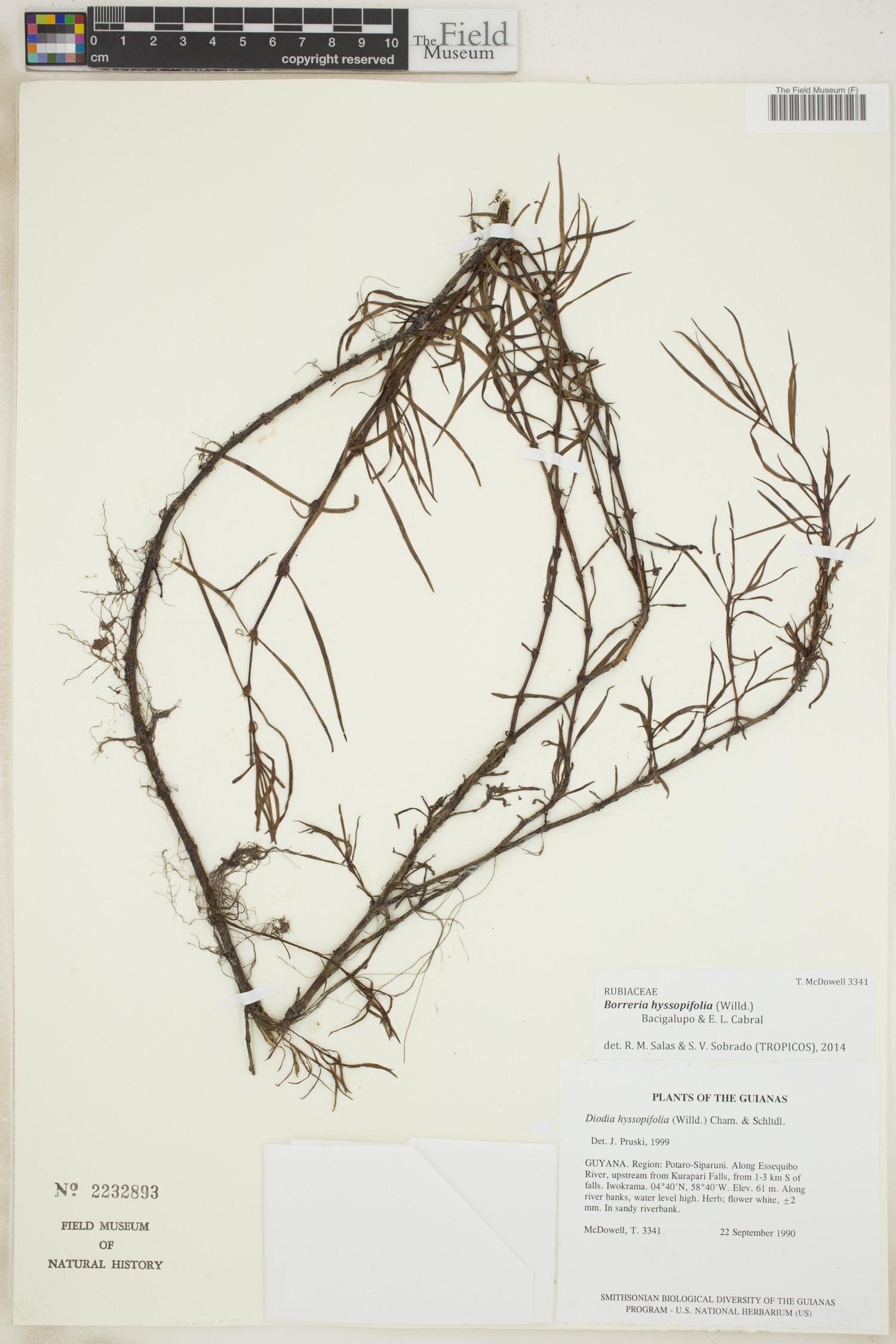Specimen: Borreria hyssopifolia