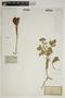 Euphorbia aleppica L., FRANCE