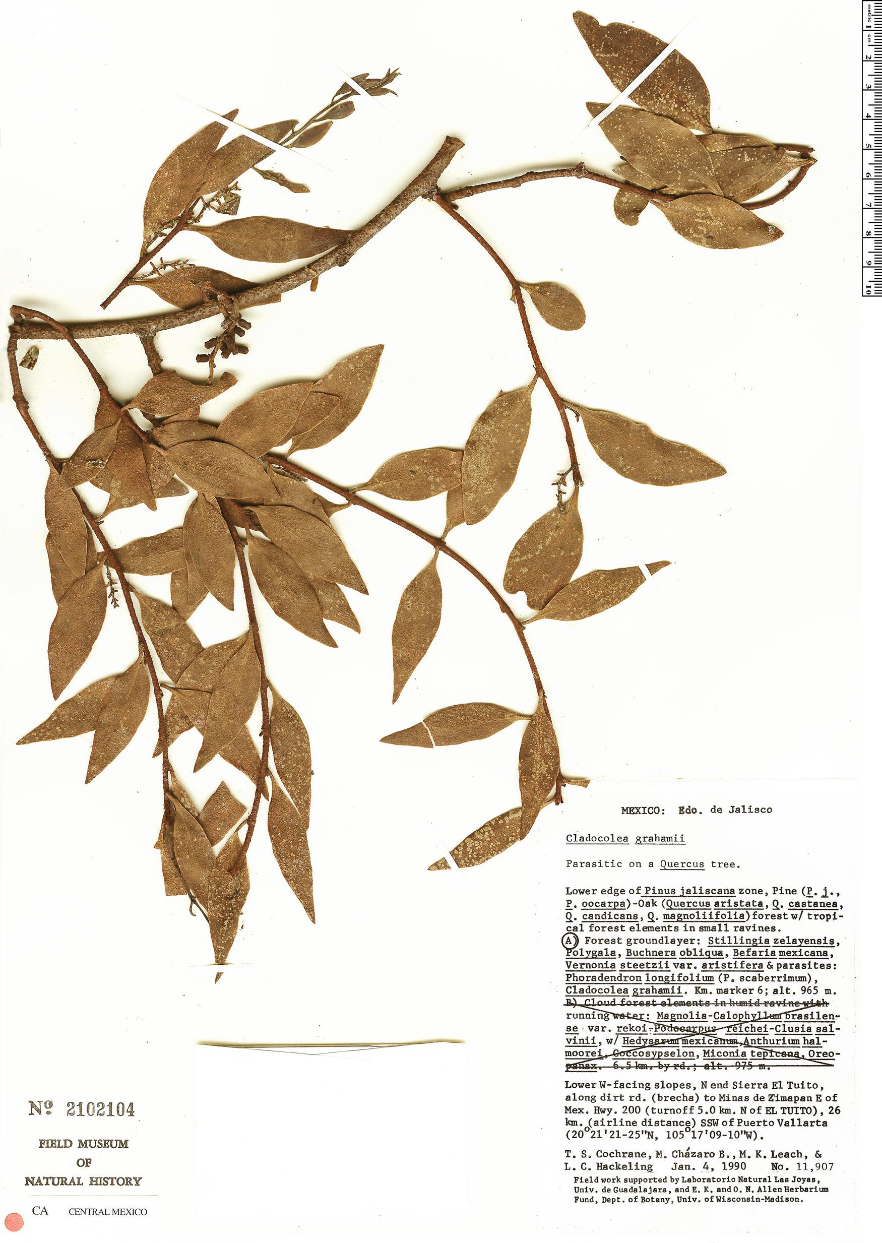 Cladocolea image