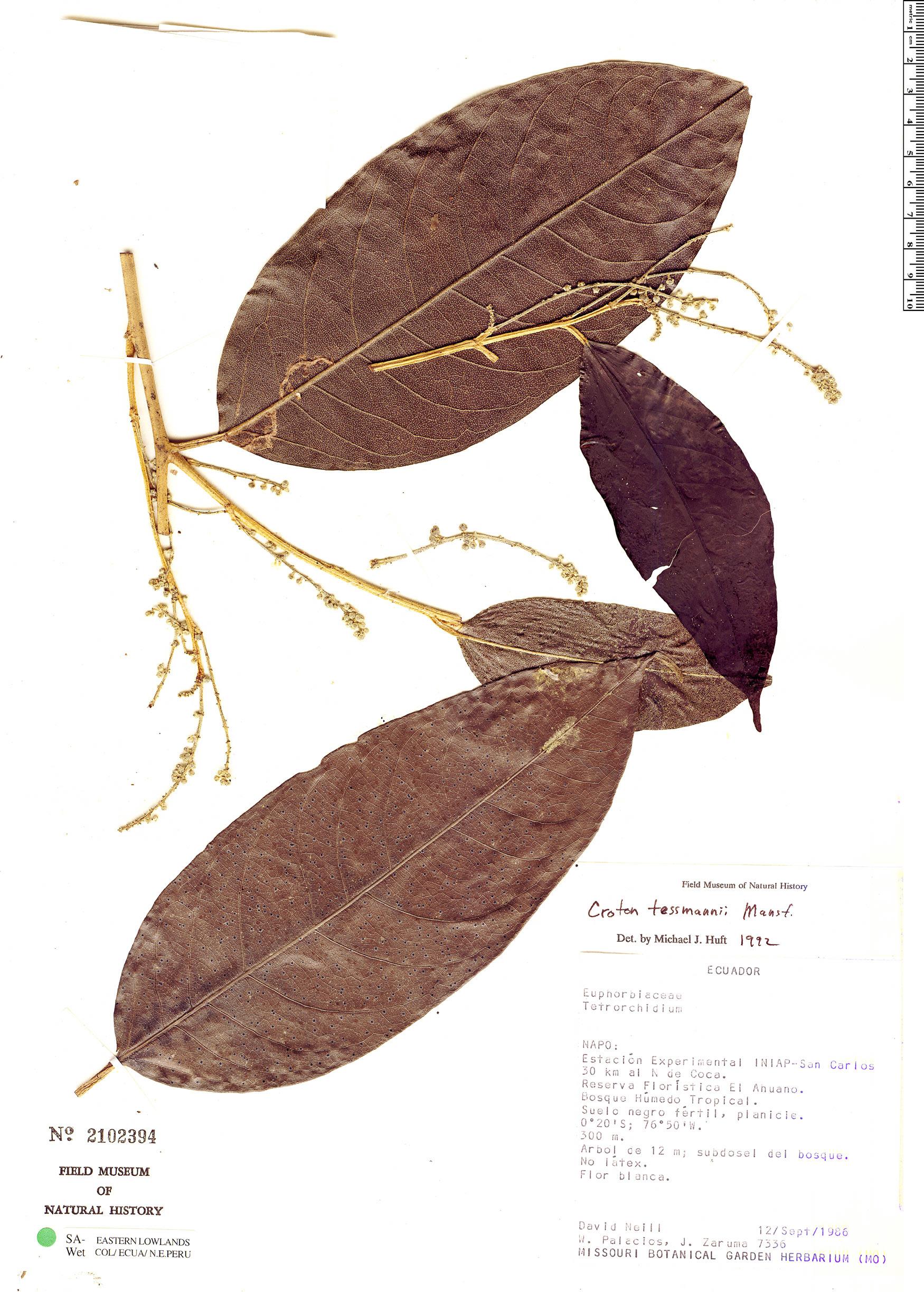 Specimen: Croton pachypodus