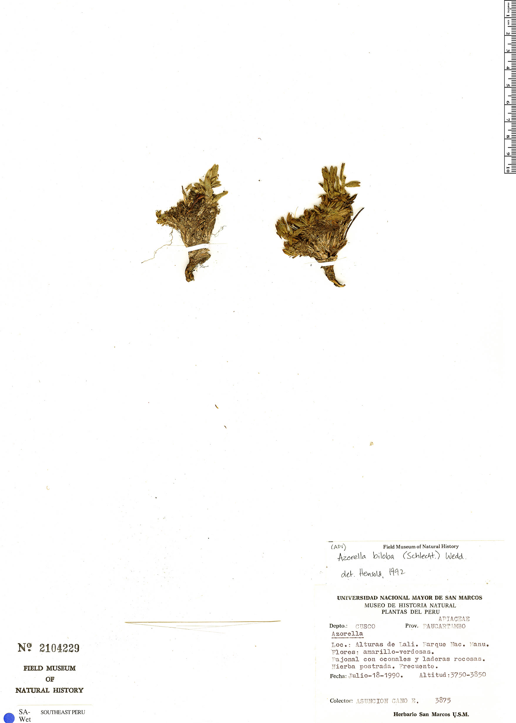 Azorella biloba image
