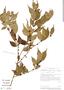 Myrciaria floribunda image