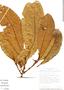 Pouteria calistophylla, Costa Rica, G. Herrera 4114, F