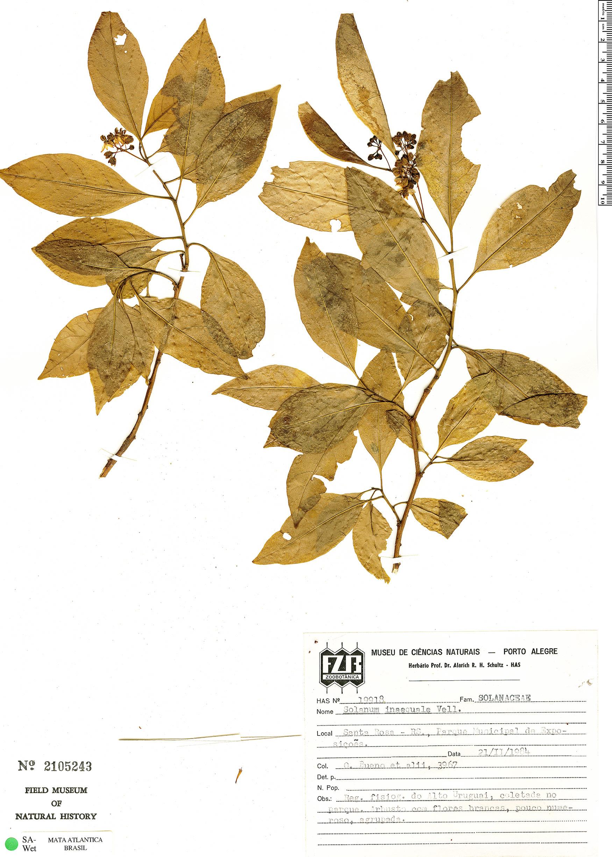 Specimen: Solanum pseudoquina