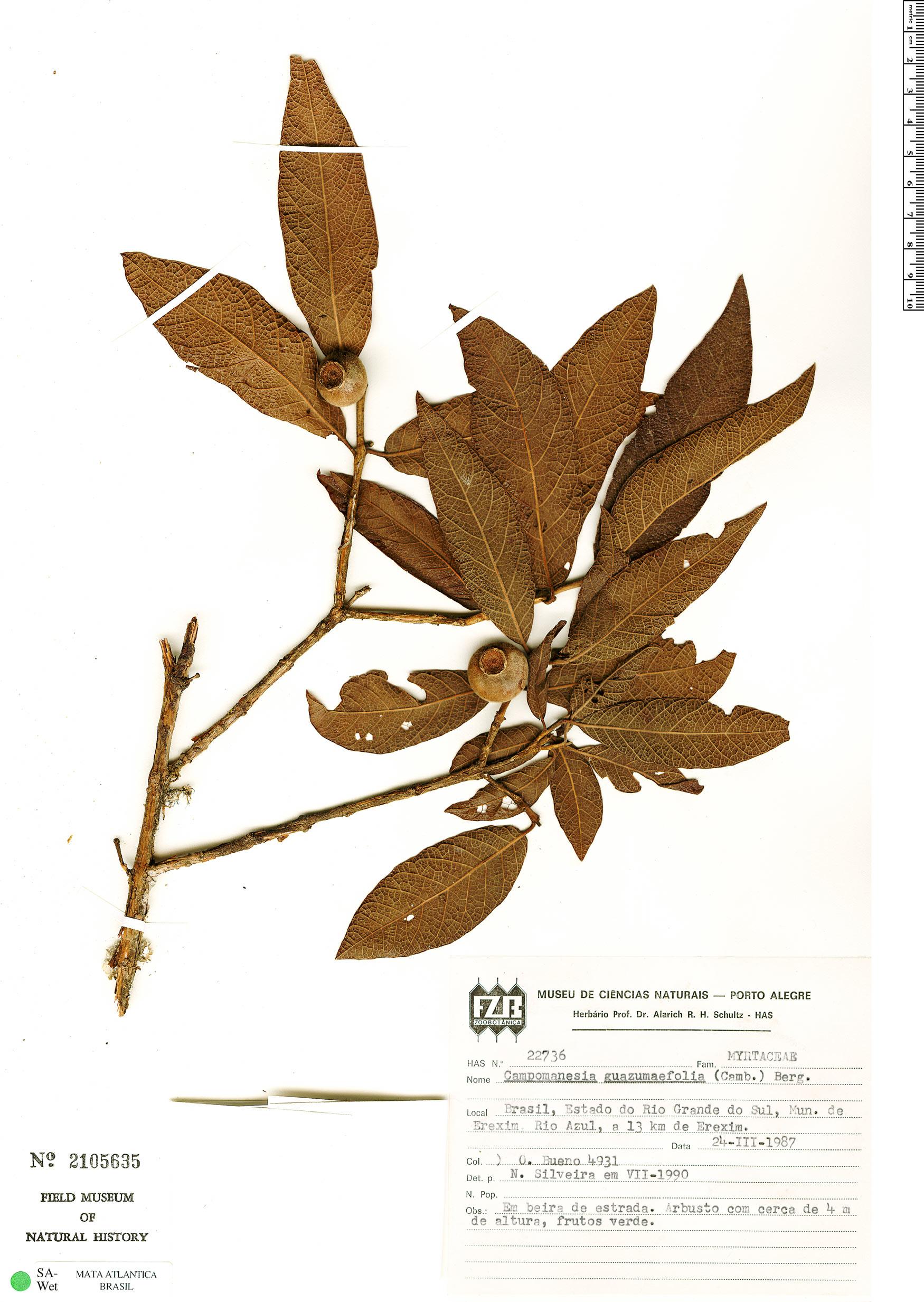 Specimen: Campomanesia guazumifolia