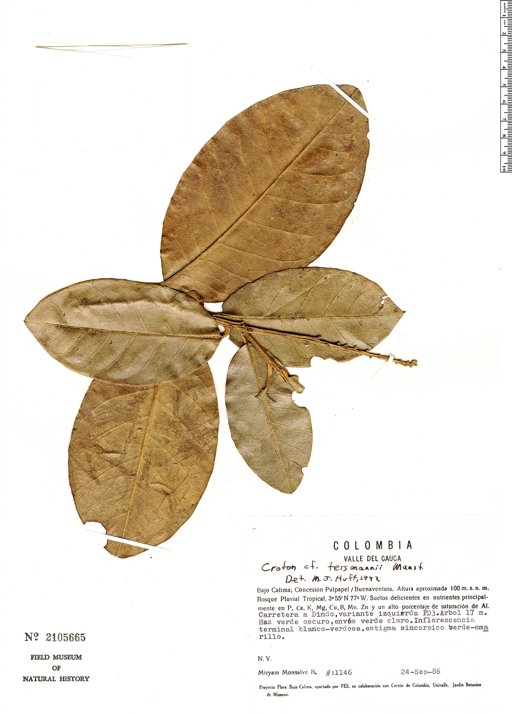Specimen: Croton jorgei