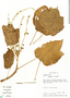 Croton killipianus Croizat, Colombia, T. B. Croat 56079, F