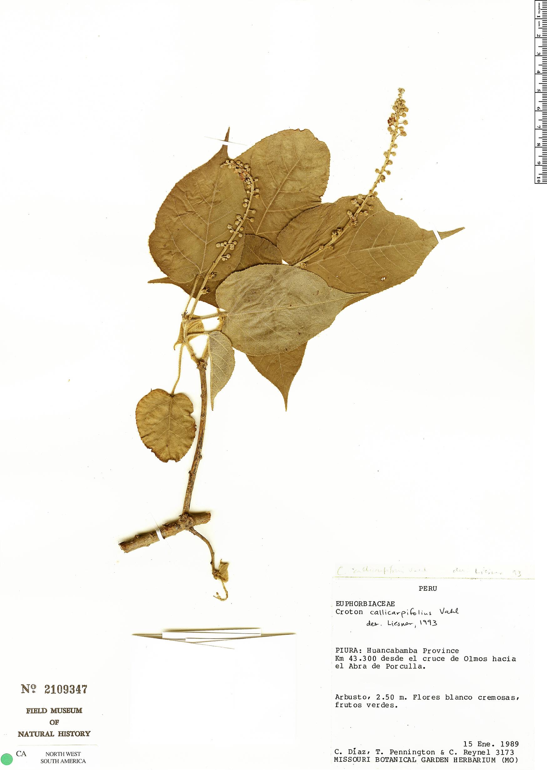 Specimen: Croton pungens