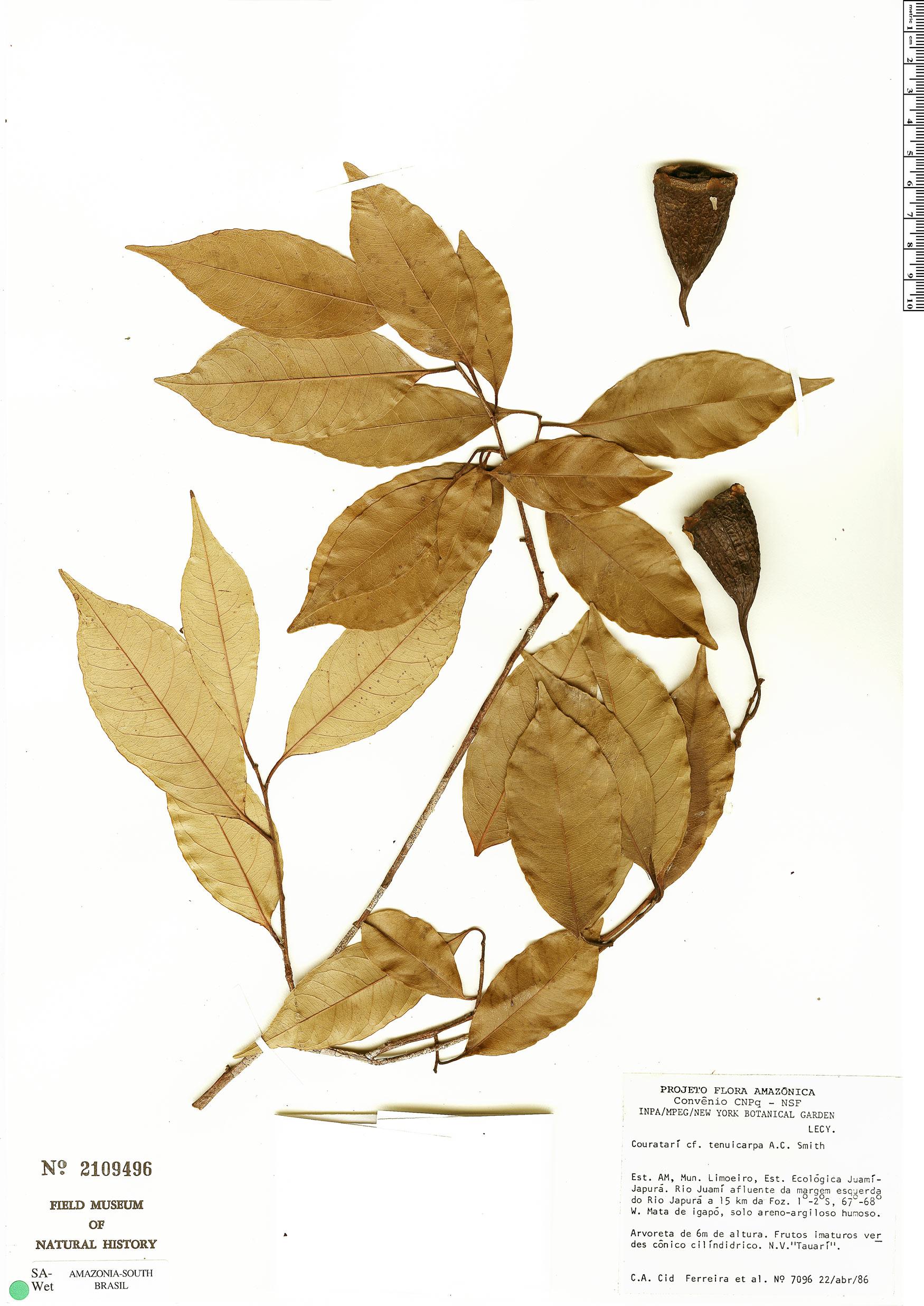 Specimen: Couratari tenuicarpa