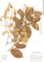 Securidaca longifolia Poepp., Brazil, C. A. Cid Ferreira 7100, F