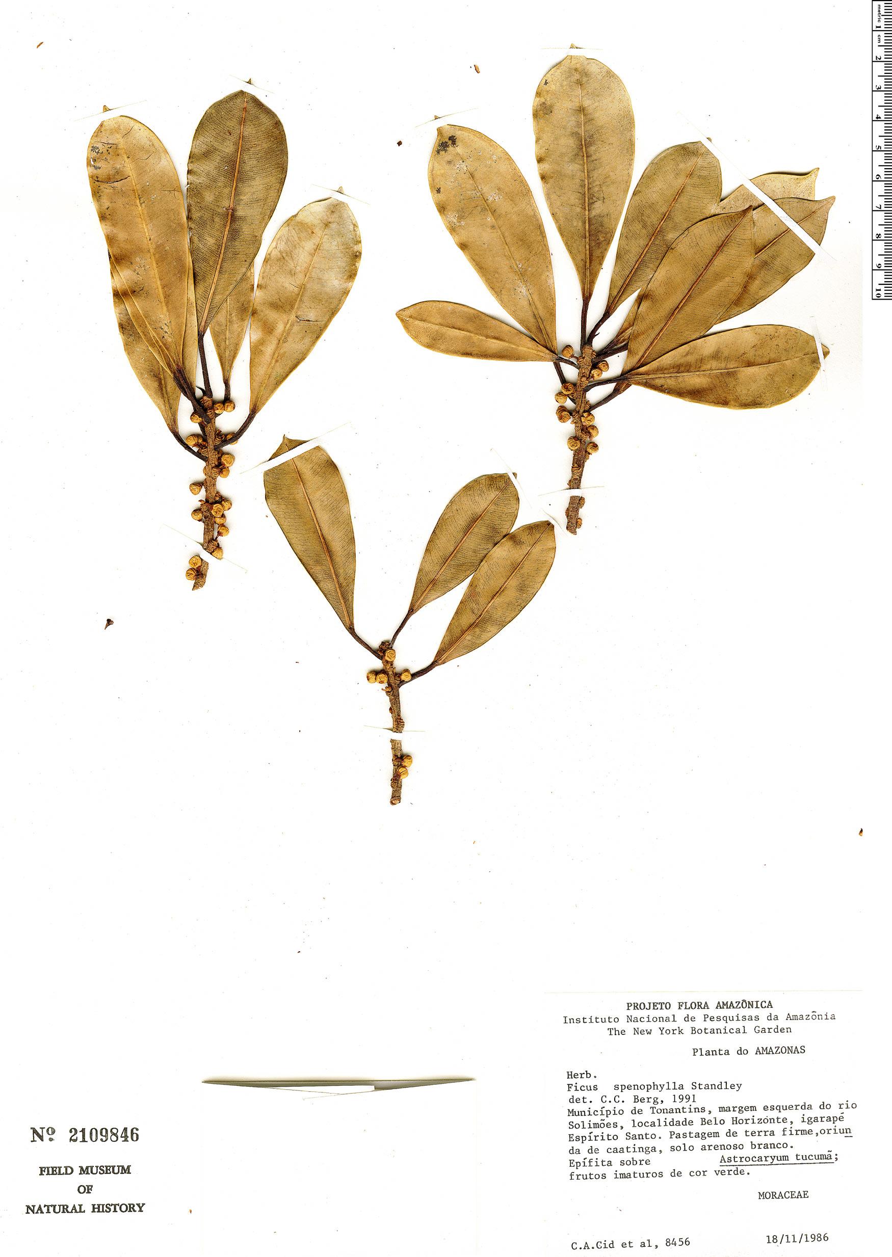 Specimen: Ficus sphenophylla