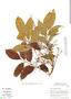 Tapirira guianensis Aubl., Brazil, C. A. Cid Ferreira 7266, F
