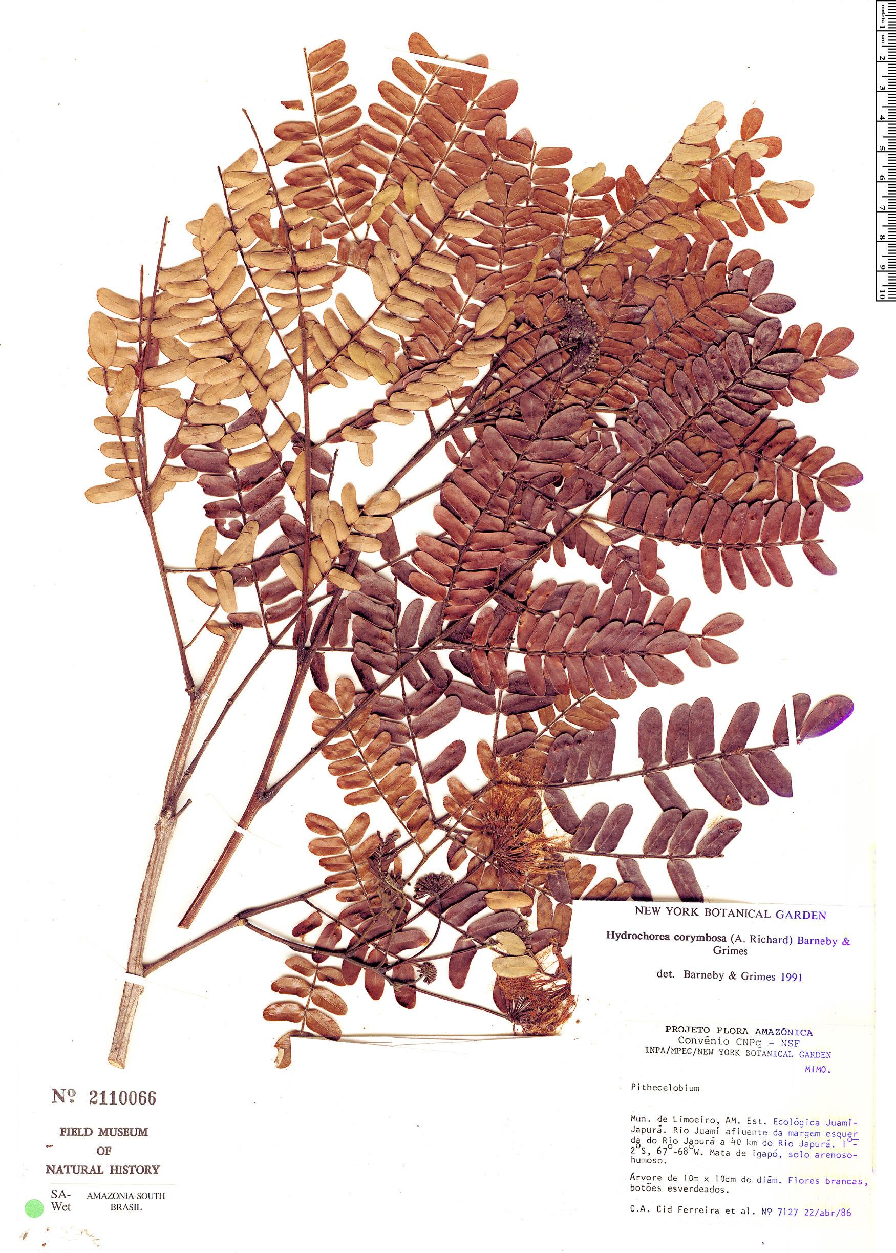 Specimen: Hydrochorea corymbosa