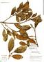 Ficus americana subsp. greiffiana (Dugand) C. C. Berg, Brazil, C. A. Cid Ferreira 7079, F