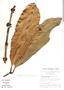 Garcinia macrophylla Mart., Brazil, G. T. Prance 7944, F