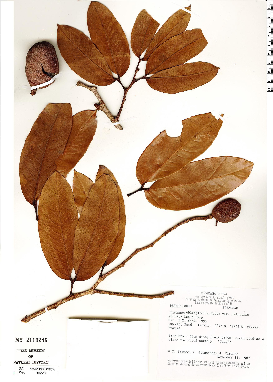 Specimen: Hymenaea oblongifolia