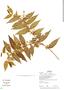 Myrcia bracteata (Rich.) DC., Bolivia, R. B. Foster 13683, F