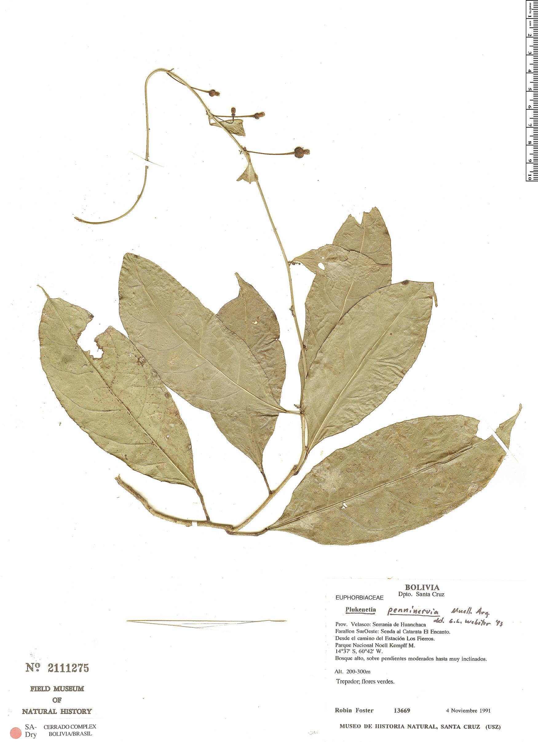 Specimen: Plukenetia penninervia