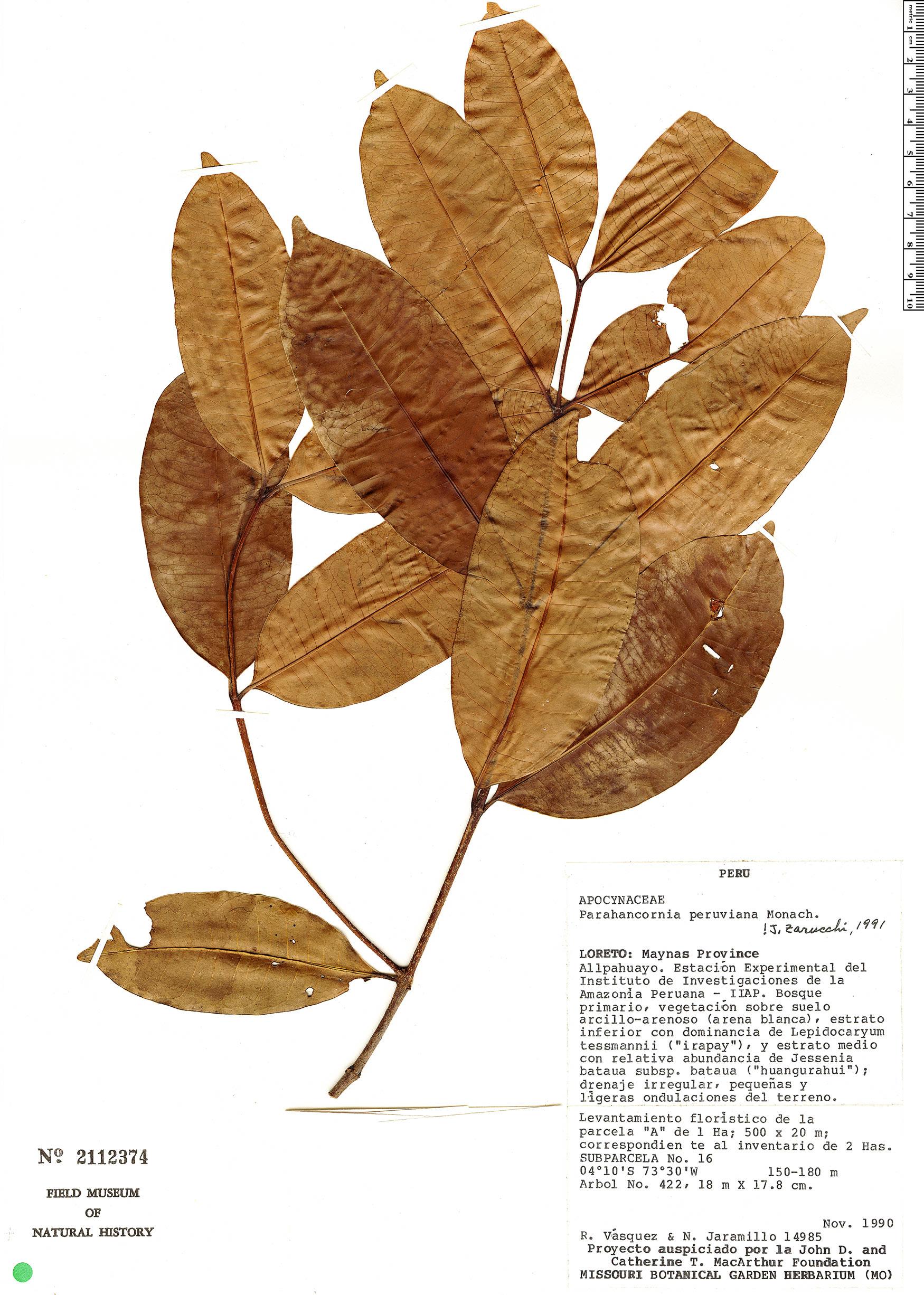 Espécimen: Parahancornia peruviana