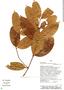 Parahancornia peruviana Monach., Peru, Rod. Vásquez 14985, F