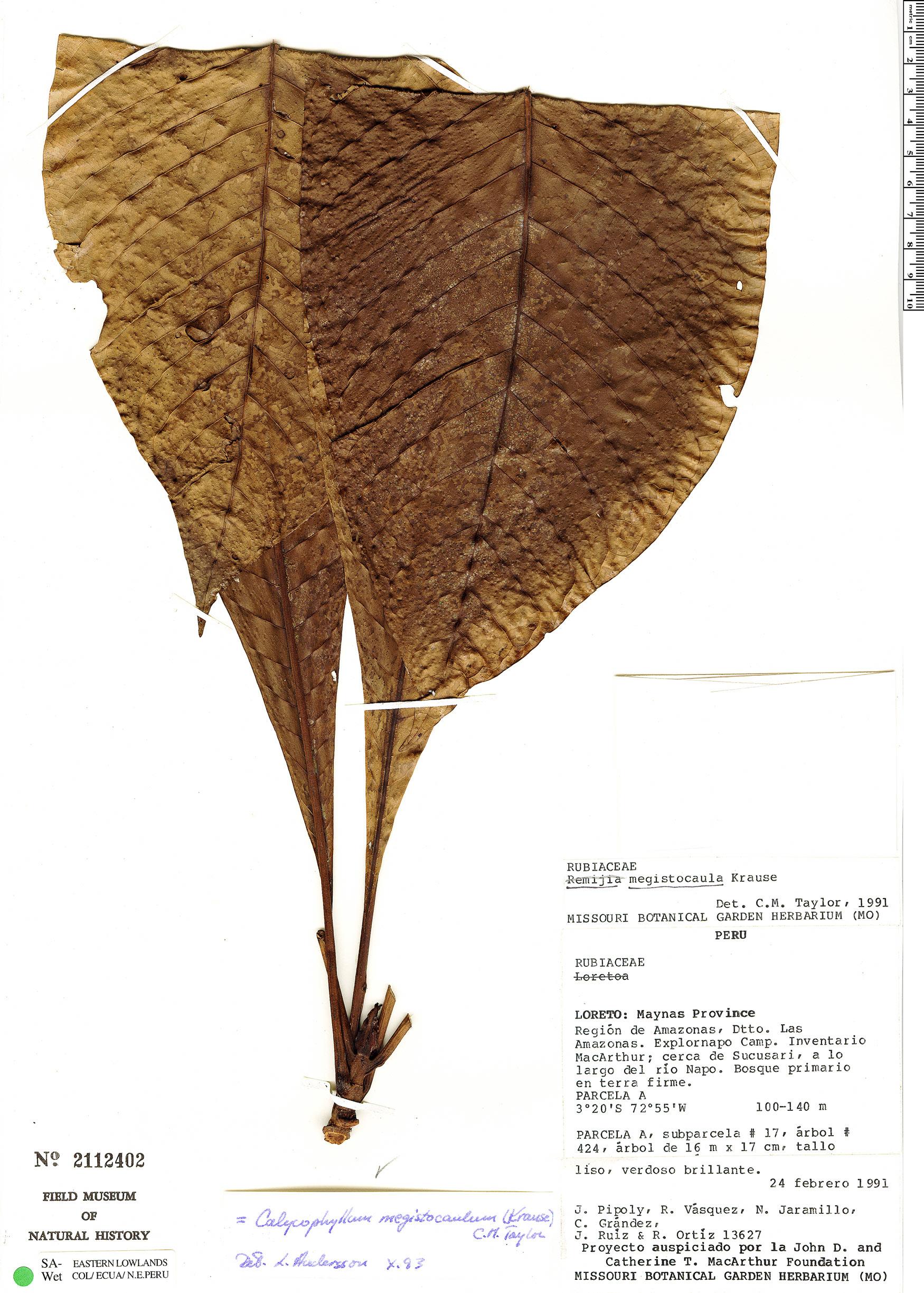 Specimen: Calycophyllum megistocaulum