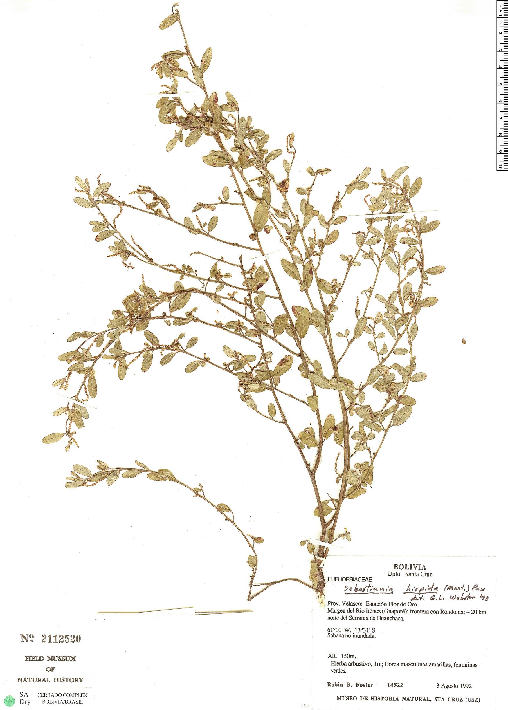 Specimen: Microstachys hispida