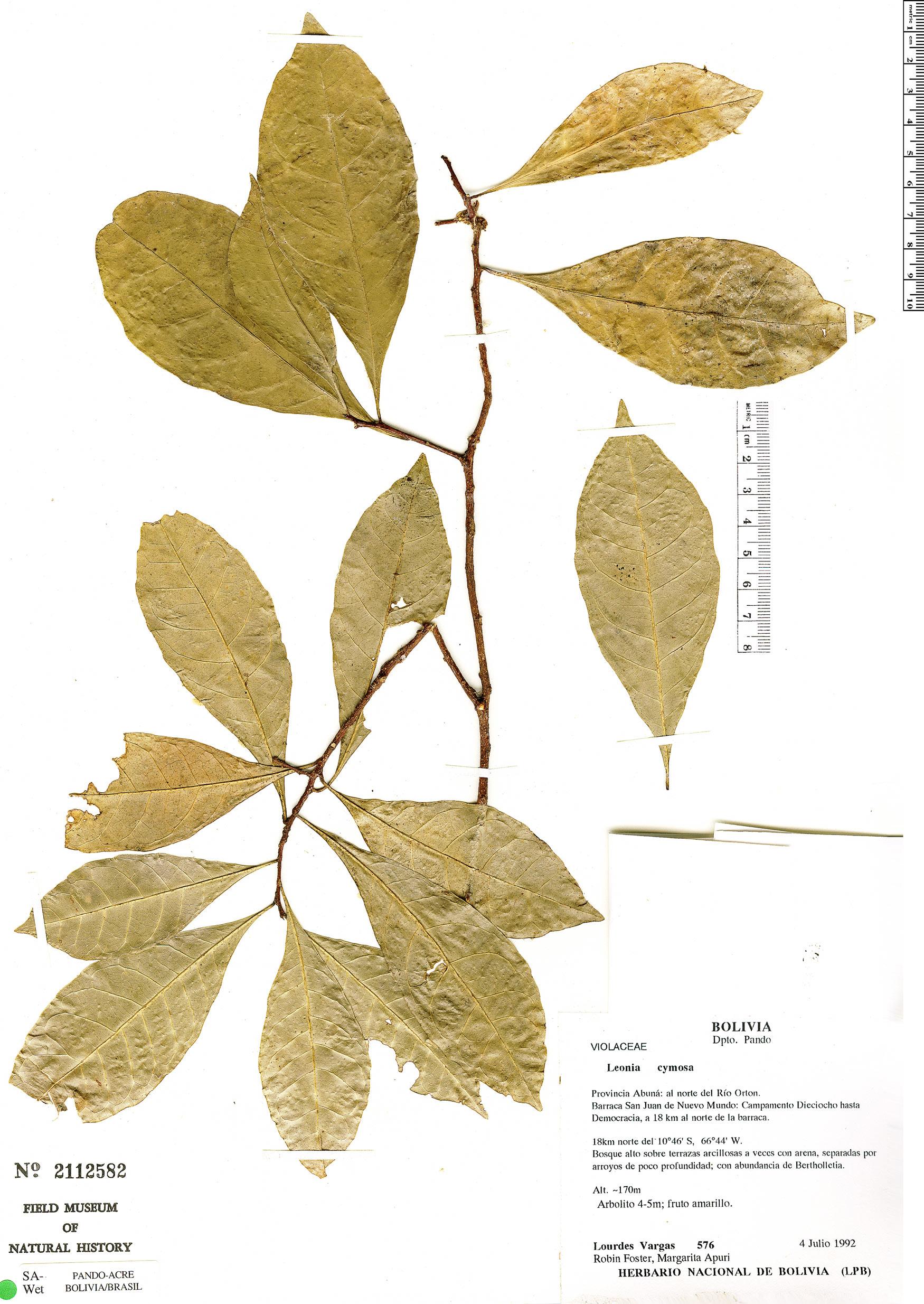 Espécimen: Leonia cymosa