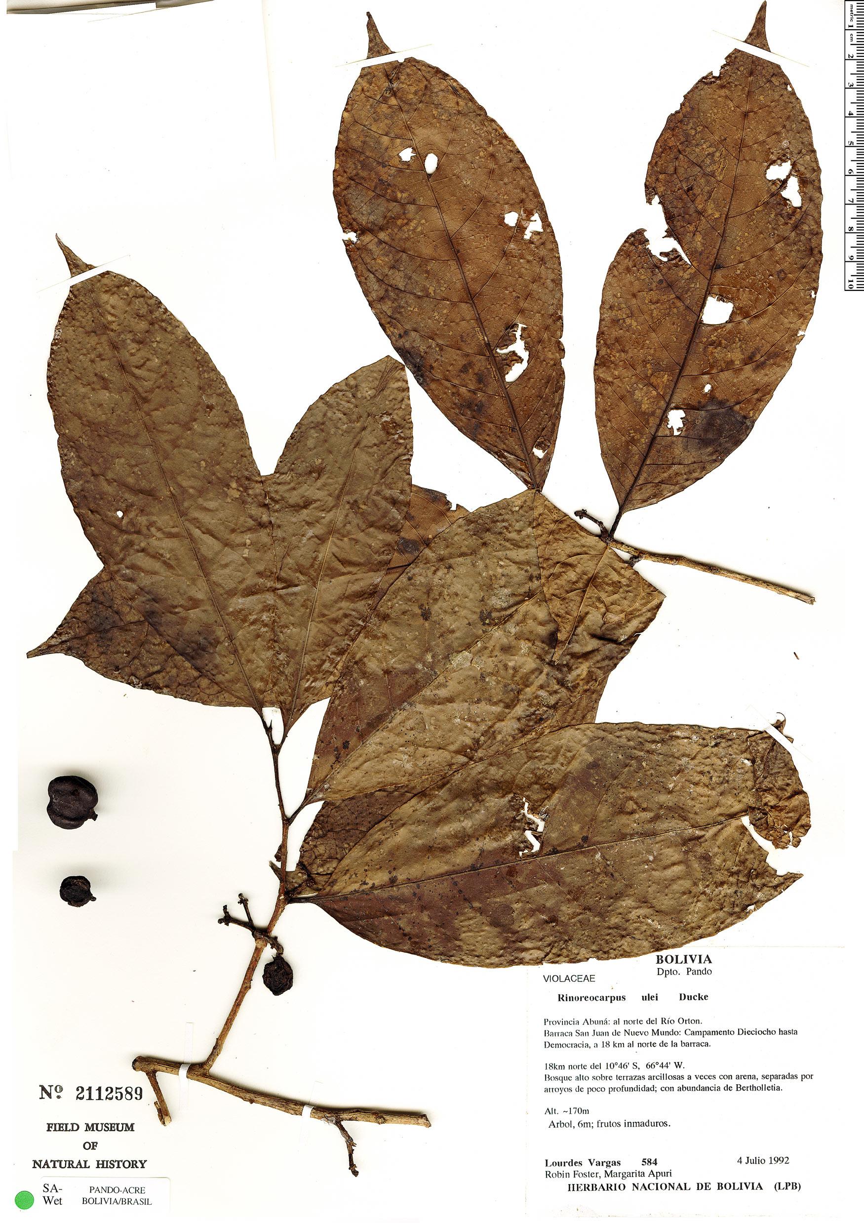 Specimen: Rinoreocarpus ulei