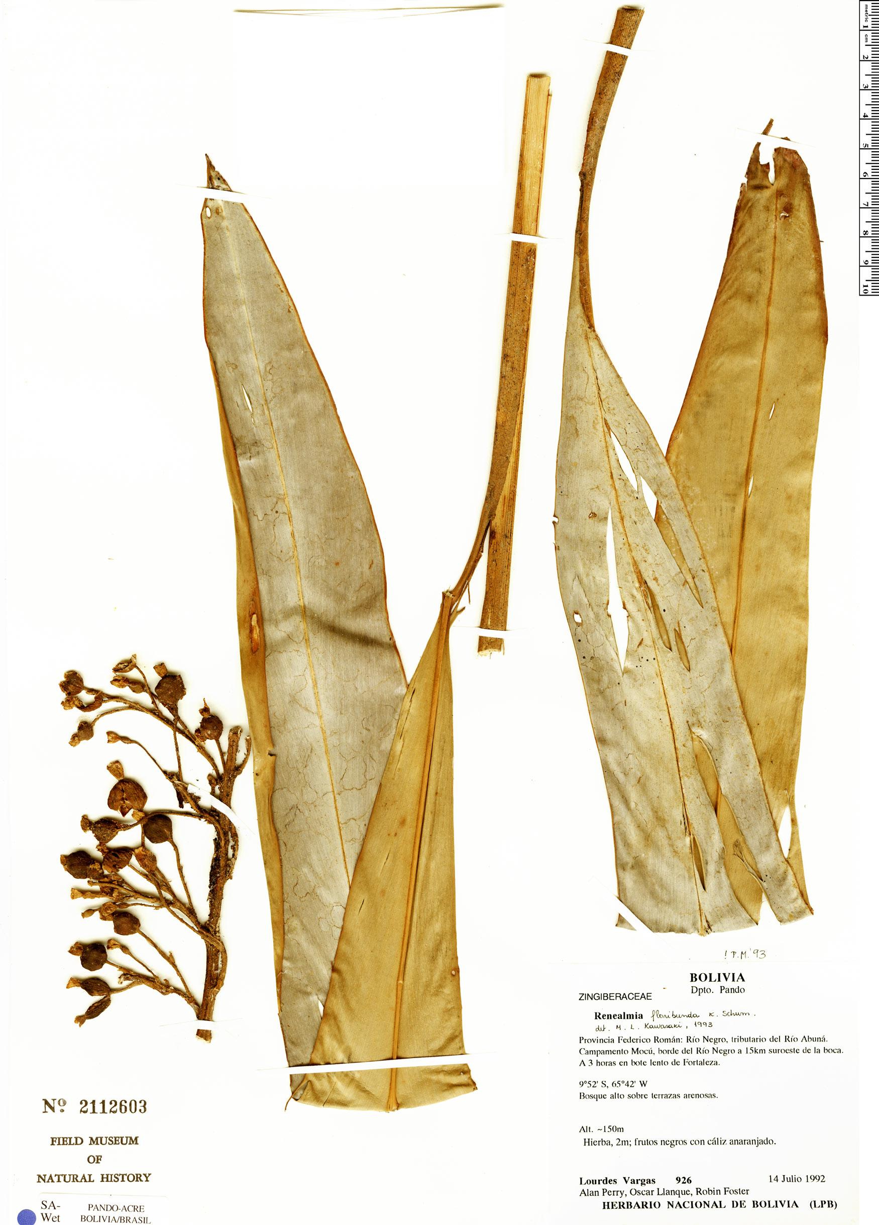 Specimen: Renealmia floribunda