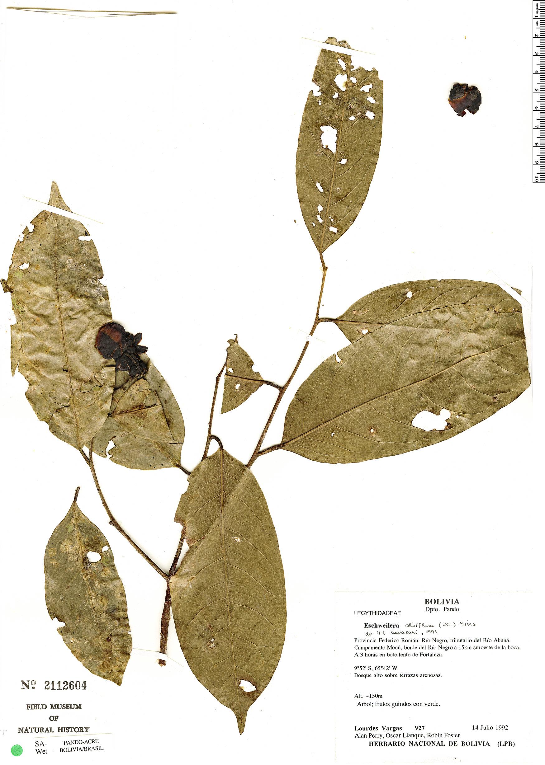 Espécimen: Eschweilera albiflora