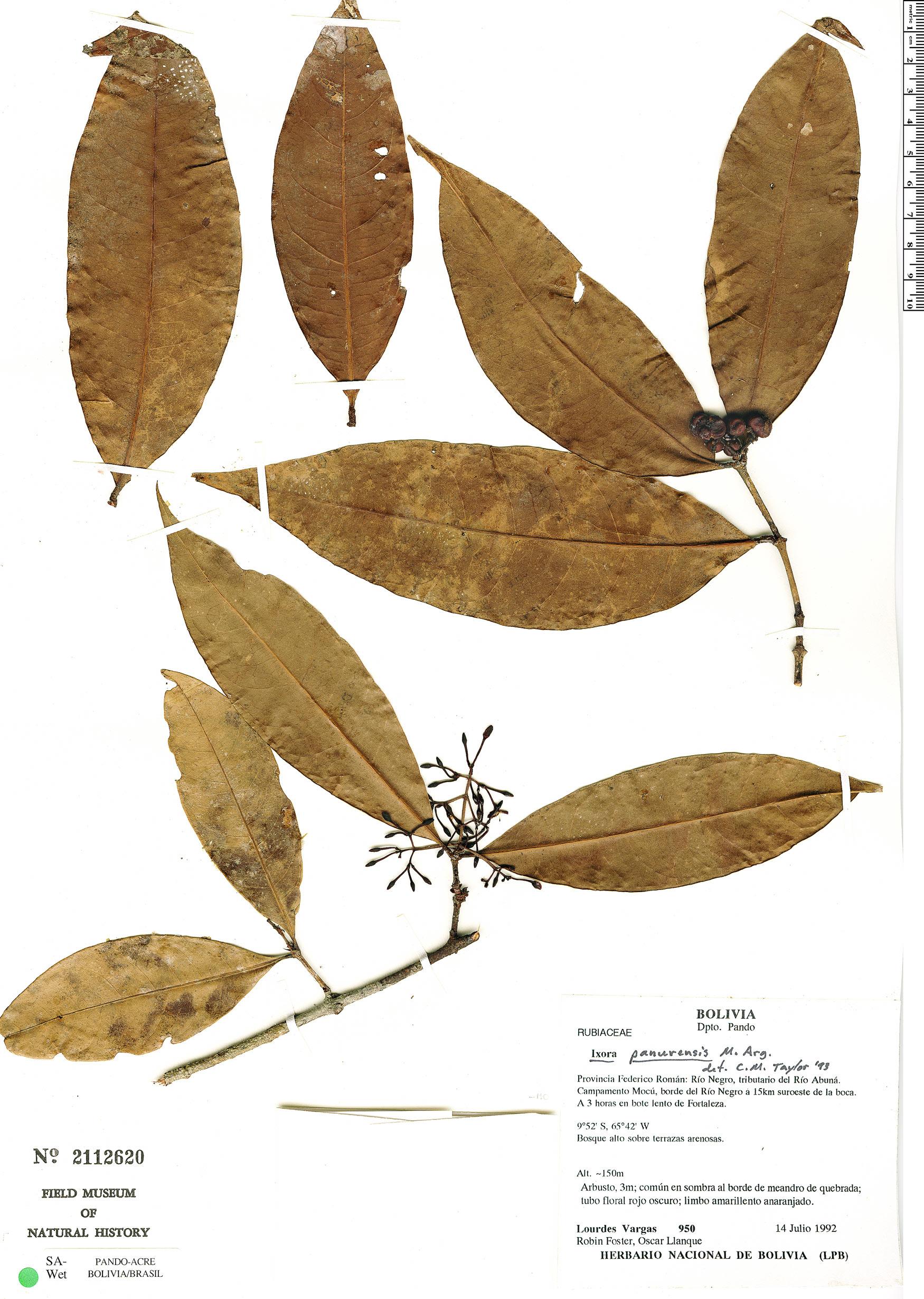 Specimen: Ixora rufa
