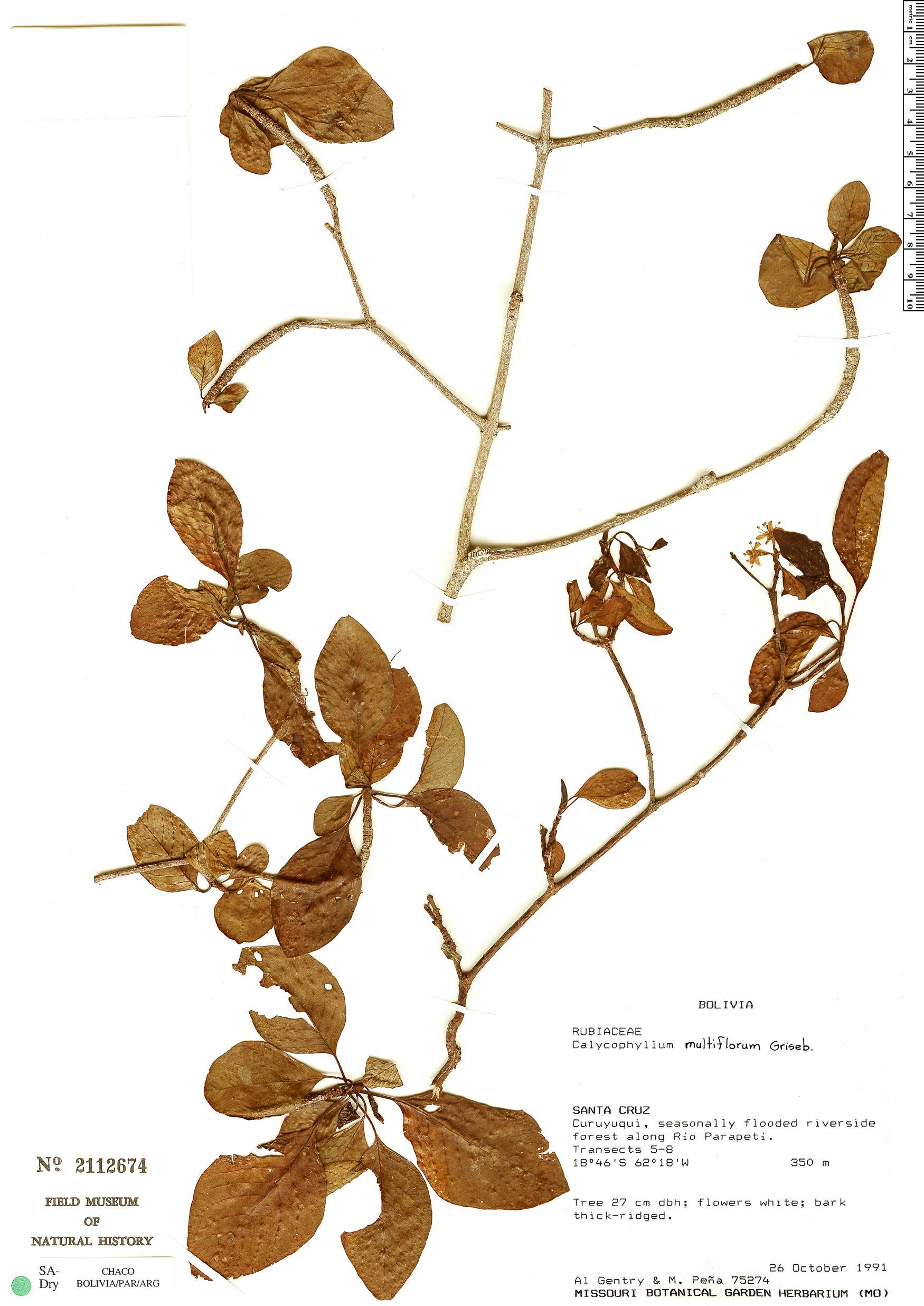 Specimen: Calycophyllum multiflorum