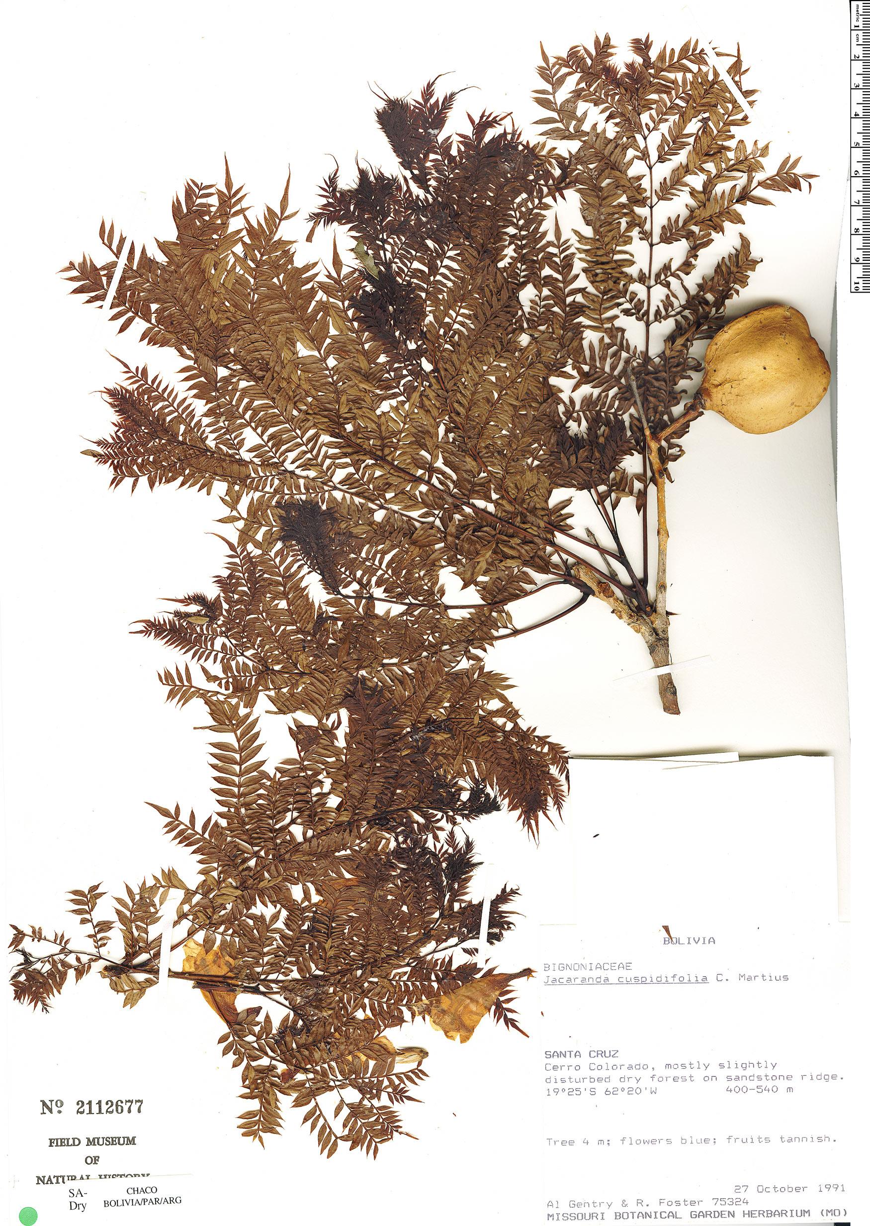 Specimen: Jacaranda cuspidifolia