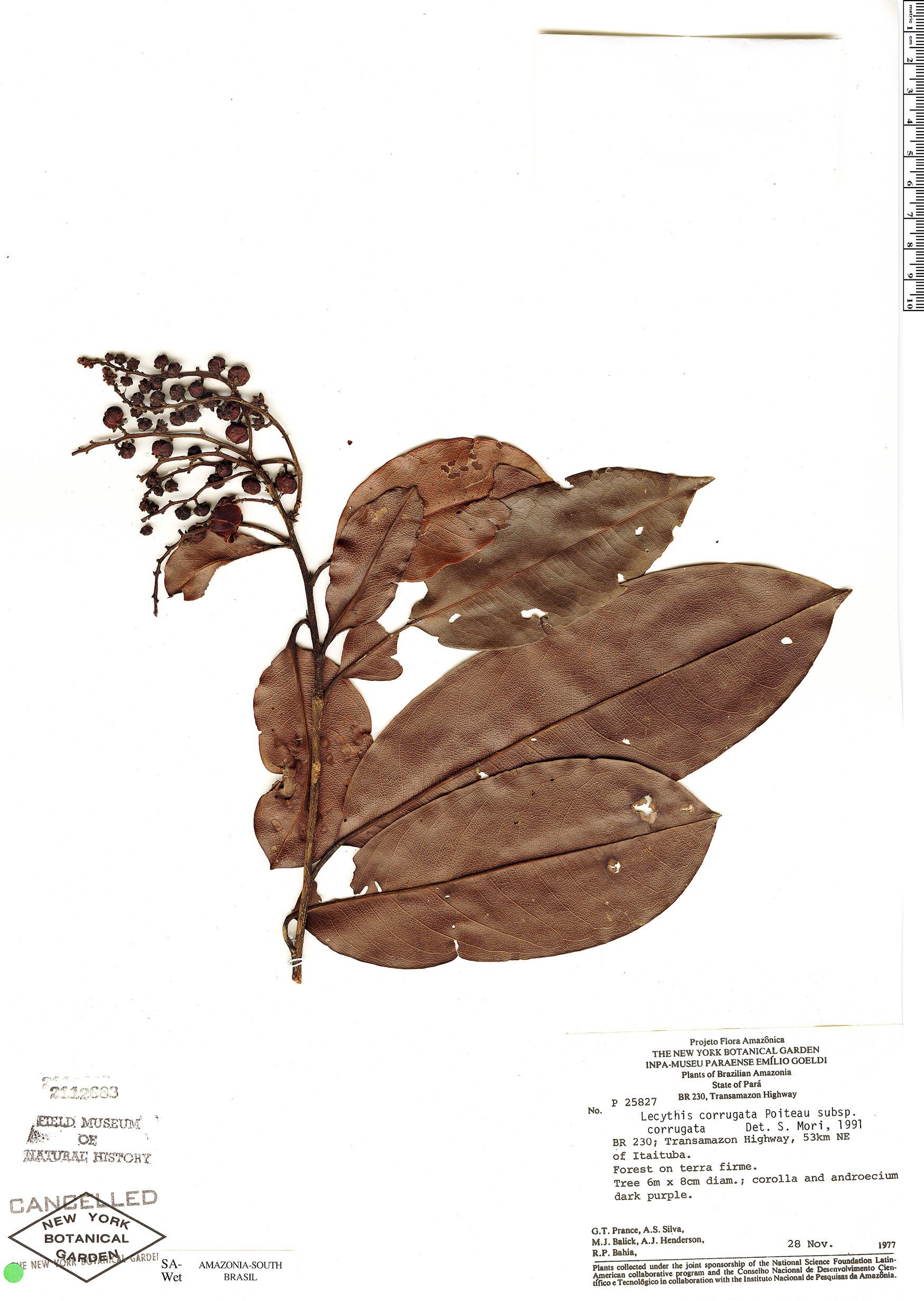 Espécimen: Lecythis corrugata