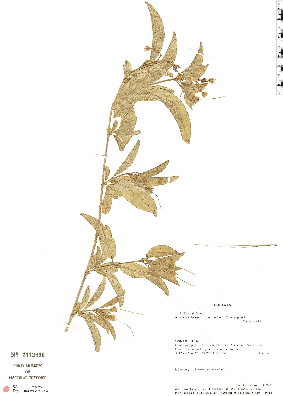 Specimen: Fridericia truncata