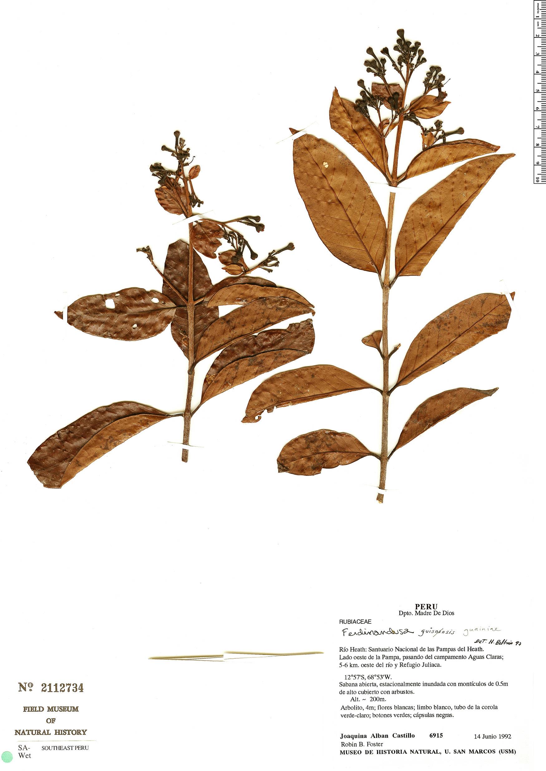 Specimen: Ferdinandusa guainiae