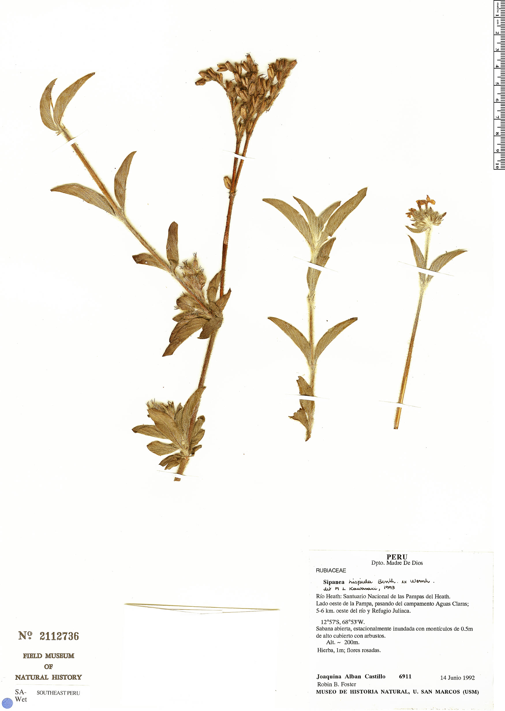 Specimen: Sipanea hispida