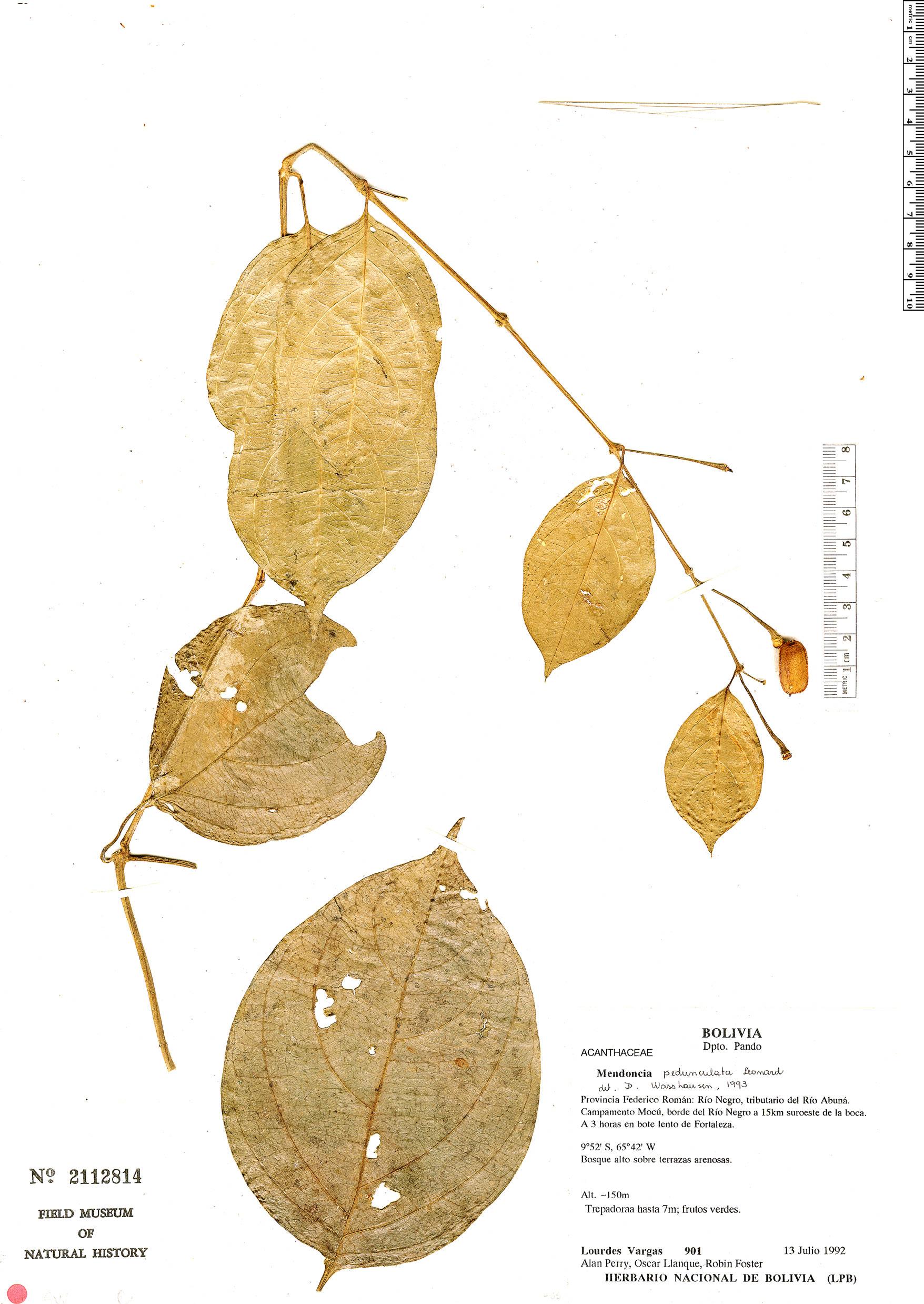 Specimen: Mendoncia meyeniana