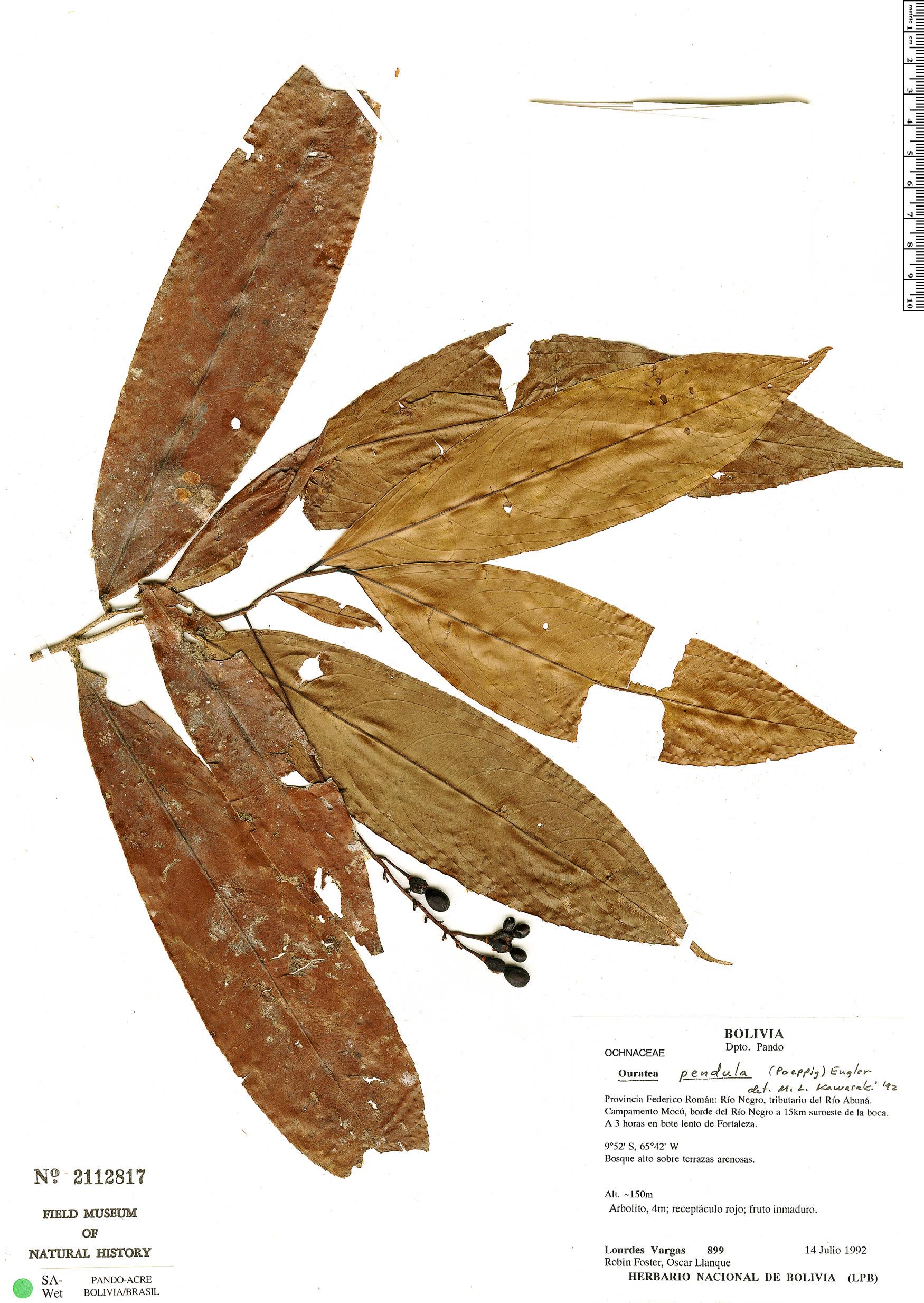 Specimen: Ouratea pendula